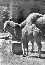 B36777 Animals Animaux Lama  llama  germany