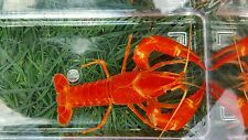 *SALE* (7) 1+ Inch Electric Orange Crayfish