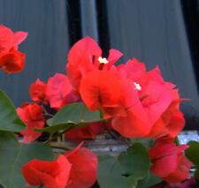 Bougainvillea Red plant. Beautiful young plant, rooty cuttings, non seed!