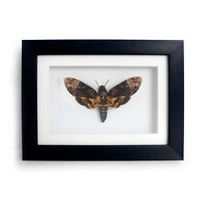 REAL Death Head Moth Frame - Silence of the Lambs, Taxidermy, Curiosities, Skull