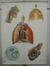 Schulwandbild Wandbild Bild Atmung Lunge Atmungsorgane Rachen Luft 84x114cm Herz