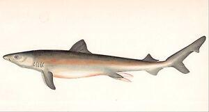 1867 original vintage WHITE SHARK ocean sea fish painted engraving art print