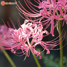 5 pc Sweet Pink Lycoris Bulb,Spider Lily,Lycoris Radiata, Bonsai Bulbs Flower