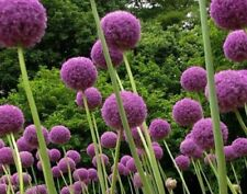 50 PCS Purple Giant Allium Giganteum Flower Seeds Home Garden Plant Decor