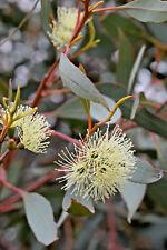 Eucalyptus astringens ssp redacta (Gum Tree) in 50mm forestry tube native
