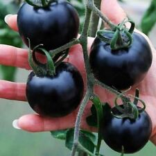 200pcs black tomato vegetable and fruits plant seedlings Seeds of perennial bons