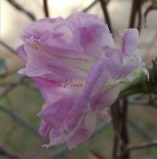 Soft Pink HIGE - Japanese Morning Glory Seeds - Feathered PomPom purpurea