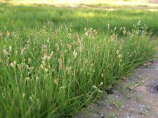 20 Bouteloua Dactyloides Buffalo Grass Seed Green Lawn Carpet Decor Garden Plant