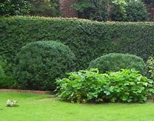American Boxwood (Lot of 10 plants in trade gallon containers) LIVE PLANTS