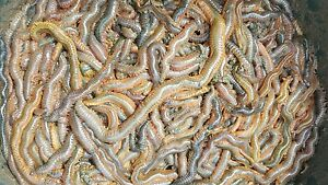 Fresh Ragworm 1lb of wild ragworm next day or let me know the day you want them