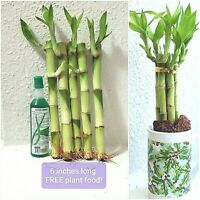 "6"" Lucky Bamboo 5 Stalks FREE Plant Food, GIFT, Feng Shui, Free Shipping"