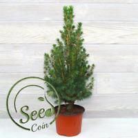 Seeds Christmas Tree Spruce Garden Home Decor Pots Bonsai 50 Pcs