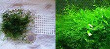 Musgo de acuario Java moss  .Cultivo sumergido.