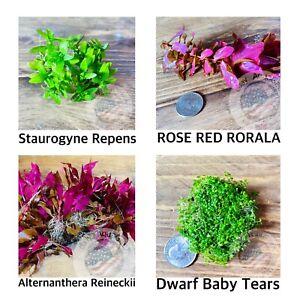 4 Type Aquarium Live Plants Bundle Repens Red Rotala Reineckii Dwarf Baby Tears