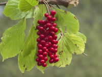 Die roten Früchte der Beerentraube sind süß-sauer und scharf im Geschmack