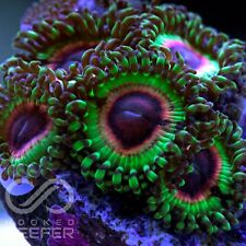 Live Coral: LSOH zoas; Zoa Palys Paly Zoanthid Polyps Rare New - FRAG