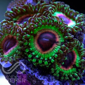 Live Coral: LSOH zoas; Zoa Palys Paly Zoanthid Polyps Rare New - Single Polyp