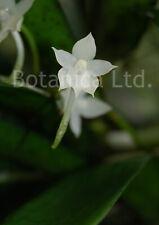 Botanica Ltd. Aerangis ugandensis *Choice & Unusual* Species Orchid Plant