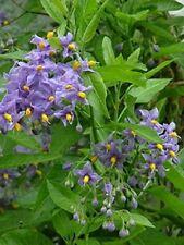 1X LARGE SOLANUM CRISPUM GLASNEVIN BLUE FLOWERING CLIMBING PLANT 40-60cm 3L