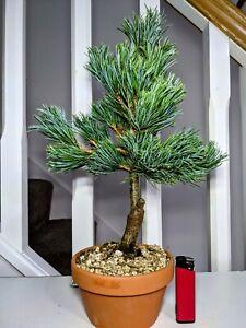 "Imported Pinus parviflora ICHI-NO-SE ""Japanese White Pine"" Bonsai in 13cm Pot"