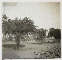Africa Alberi Foto NE17 Placca Da Lente Stereo Vintage Ca 1910