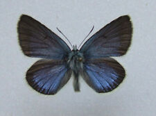 Butterfly Polyommatus diana, Diana Blue male ( mounted ) Rare!