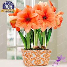4 pcs Amaryllis Bulbs,True Hippeastrum Bulbs Flowers (Not Seeds)