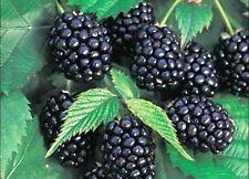 2 Stück Brombeerstrauch,Brombeere Reuben, Herbstbrombeere, Rubus fruticosus