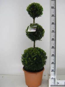 Buchsbaum, 3er-Kugel, Buxus sempervirens, 110-120 cm, Formschnitt + Dünger !