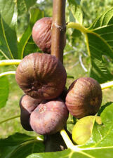 rare, flat fruit, hardy, Fig tree plant, FICUS CARICA Ice, self fertile, 15cm