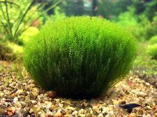"Stringy Moss on LG 3X3"" Lava Rock Leptodictyum riparium  Aquarium Plant live"