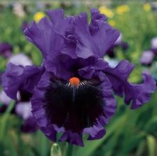 """1 Tall Bearded Iris """"Pagan Dance"""" - Reblooming - Large Rhizome, size #1"""