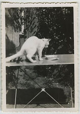 PHOTO ANCIENNE - CHAT ANIMAL TABLE GAG - CAT FUNNY - Vintage Snapshot