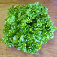 Green Salad Bowl Lettuce Heirloom Seeds - Non-GMO - Untreated - Open Pollinated!