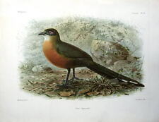COUA COQUERELII, COQUERELS COUA, Keulemans Antique  Bird Print  c1880