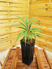 Cycas debaoensis 2-3 feuilles plantule/seedling, zamia, cycad, Dioon