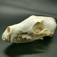1Pcs Fox Skull Real Animal Skull Real Bone Decoration Unique Birthday Gift/Craft