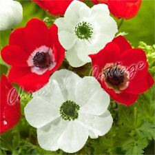 30 ANEMONE THE BRIDE HOLLANDIA SPRING RED WHITE FLOWER AUTUMN GROWING BULB CORM