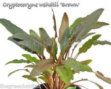 Cryptocoryne wendtii 'Brown' - Live Easy Freshwater Plants Java Moss Anubias