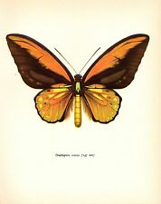 "1963 Vintage PROCHAZKA BUTTERFLY ""WALLACE CROESUS"" GORGEOUS COLOR Lithograph"