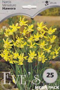 Daffodil Narcis Miniature Hawera  - 20 Bulbs Per Pack 20cm