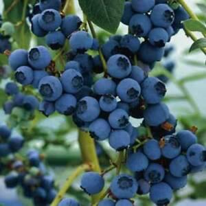 Blueberry Ozarkblue large fruit heavy cropping late season variety  9cm