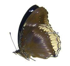 Unmounted Butterfly/Nymphalidae - Hypolimnas bolina jacintha, male, Madagascar