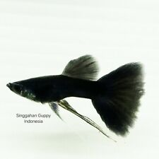 Live Guppy Fish Breeding Pair Black Moscow Indonesia