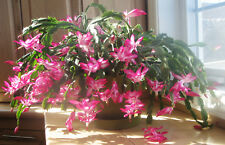 2 Pink Christmas/ThankGiving Cactus Zygo Schlumbergera Rooted live plant