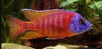 10 (ten) x Aulonocara sp. Rubin Red (Lake Malawi Cichlid)