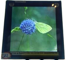 Green Veined White butterfly  Glass Slide Magic lantern Slide