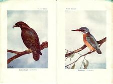 Stampa antica UCCELLI AQUILA REALE MARTIN PESCATORE 1925 Old print birds