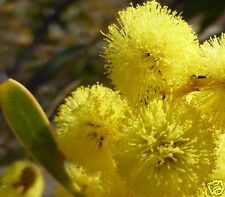 Golden Wattle Seeds Australia's National Emblem Small Tree Evergreen