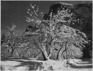 """Ansel Adams - Trees Snow on Branches Half Dome Apple Orchard Yosemite -17"""" x 22"""""""